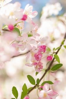 Ramo di un albero di fiori rosa sfondo sfocato primo piano, messa a fuoco selettiva.