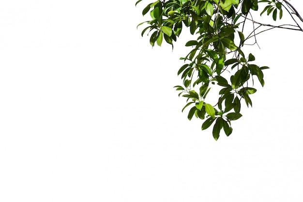 Ramo e foglia di albero isolati su fondo bianco