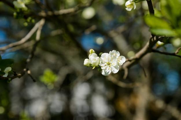 Ramo fiorito di susino