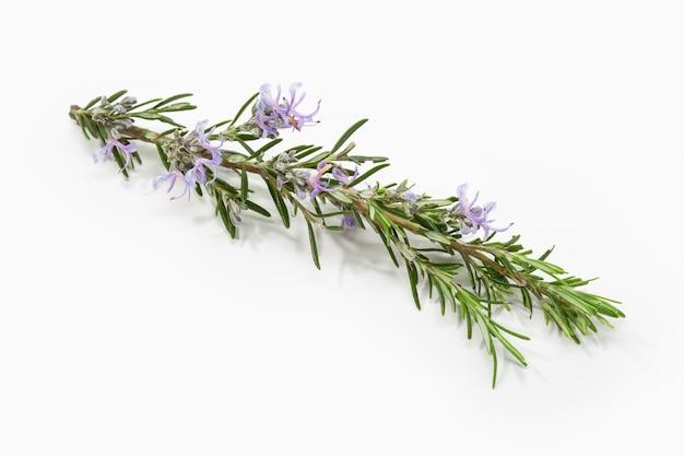 Ramo fresco dei rosmarini con i fiori di fioritura isolati su bianco