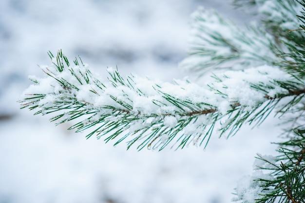 Ramo innevato di un pino nel parco di inverno
