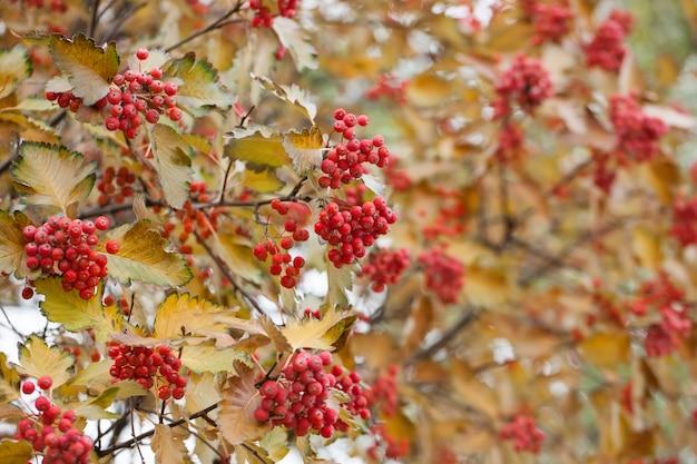 Ramo rosso di viburno nel giardino. bacche e foglie di opulus di viburno viburno all'aperto nella caduta di autunno. mazzo di bacche rosse di viburno su un ramo.