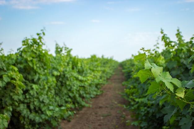 Ramoscello d'uva verde e foglie. giovani foglie di vite e riccioli sulla vite in vigna.