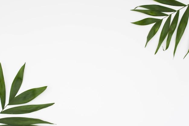 Ramoscello delle foglie all'angolo di fondo bianco