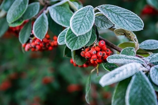 Ramoscello glassato con frutti rossi maturi pyracantha coccinea.
