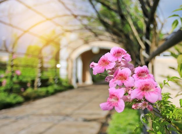 Rampicante dello zimbabwe, tromba rossa, fiori rosa che fioriscono nel giardino.