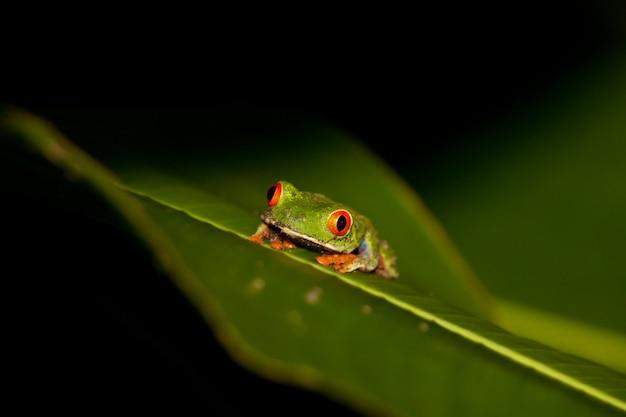 Rana di albero eyed rossa che si siede su una foglia verde