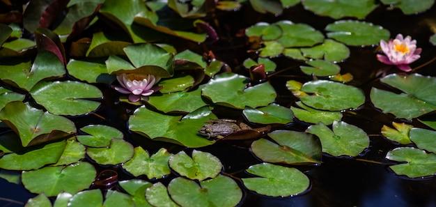 Rana verde in uno stagno