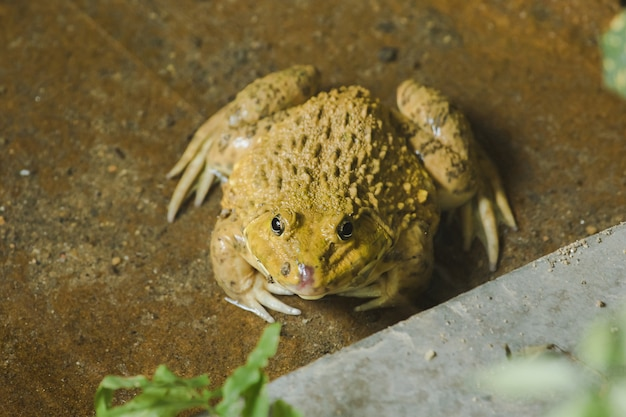 Rane sul terreno nello stagno che è un animale anfibio