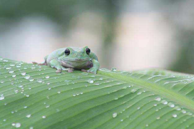 Rane verdi su foglie di banana con gocce di pioggia