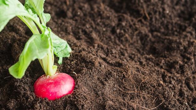 Rapa rossa che cresce nel giardino
