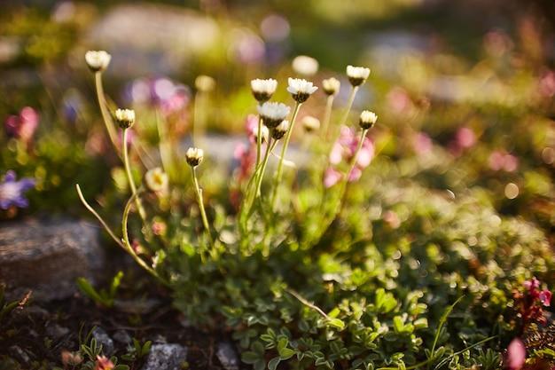 Rari fiori di montagna e piante che crescono sul pendio