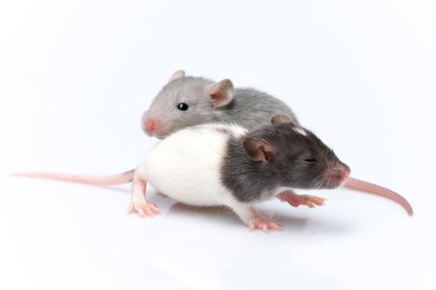 Ratti carini