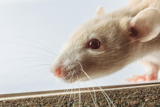 Ratto bianco del laboratorio isolato su fondo bianco
