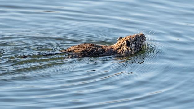 Ratto d'acqua nel parco naturale delle paludi di ampurdan.