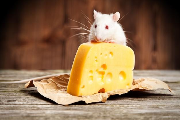 Ratto domestico con un grosso pezzo di formaggio