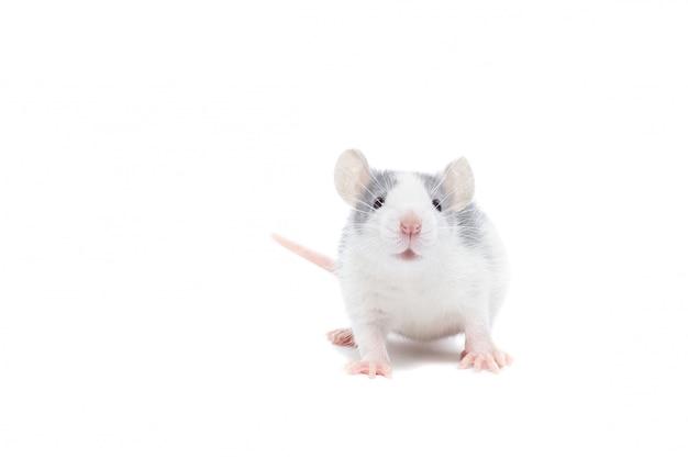 Ratto su sfondo bianco