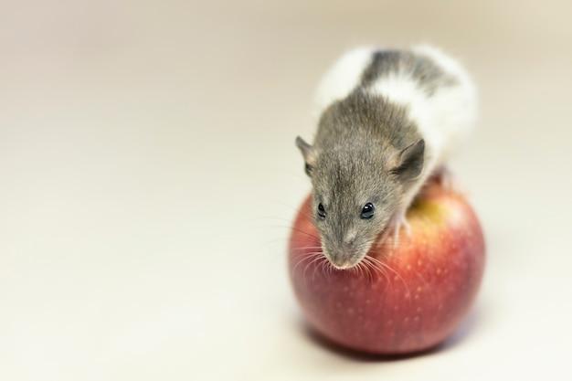 Ratto sveglio dell'animale domestico che si siede su apple isolato su bianco