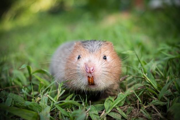 Ratto talpa o ratto di bambù di grandi dimensioni in giardino