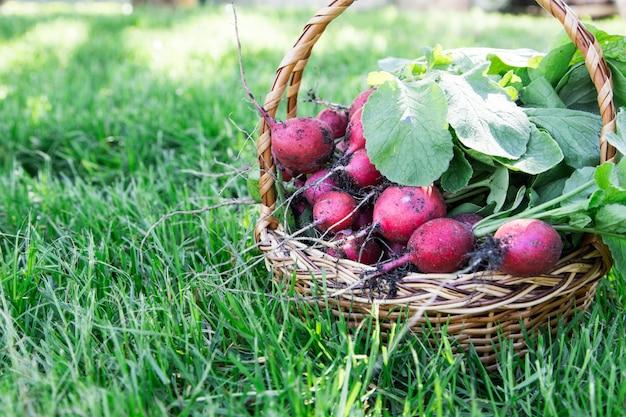 Ravanello appena raccolto. ravanelli organici bianchi rossi freschi con le foglie sul canestro
