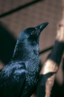 Raven fauna selvatica