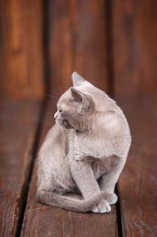 Razza di gatto birmano europeo, grigio, seduto su uno sfondo di legno marrone