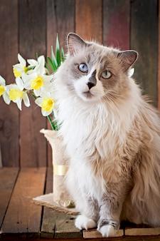 Razza di gatto ragdoll e un vaso di narciso