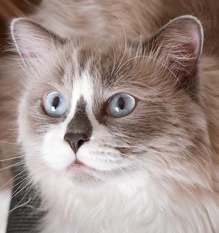Razza ragdoll di close-up faccia di gatto