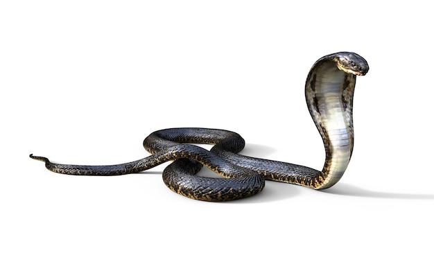 Re cobra il serpente velenoso più lungo del mondo isolato su priorità bassa bianca
