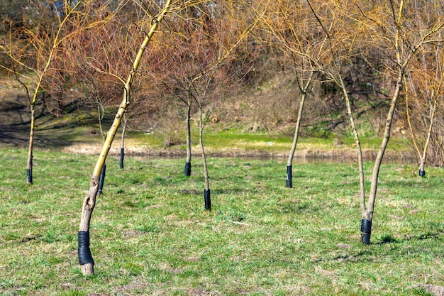 Recinzione di plastica in modo che i castori non masticino alberi maturi. i boscaioli esperti non riescono a metterci i denti