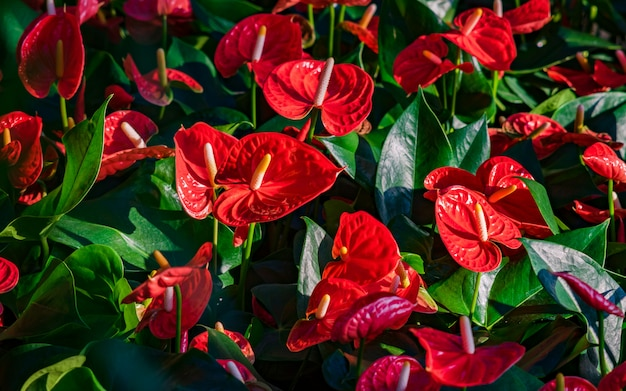 Red anthurium flowes (tailflower, flamingo flower, laceleaf) con foglie verdi.