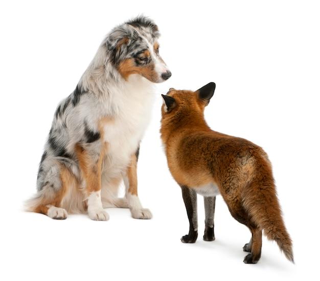 Red fox che gioca con il pastore australiano