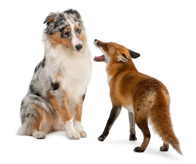 Red fox - vulpes vulpes che giocano con il pastore australiano