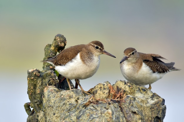 Redshank comune con la natura