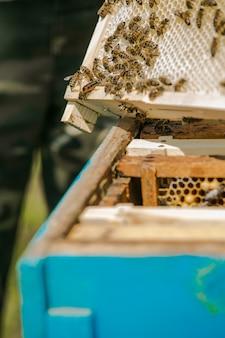 Regina dell'ape. apicoltore tirando fuori la cornice con nido d'ape da un alveare a mani nude. api sui favi. cornici di un alveare.