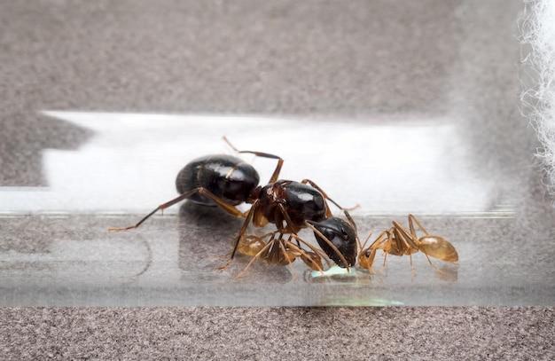 Regina e due formiche operaie che mangiano miele