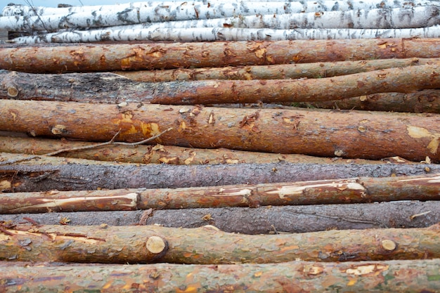 Registra pini e betulle ammucchiati in un mucchio