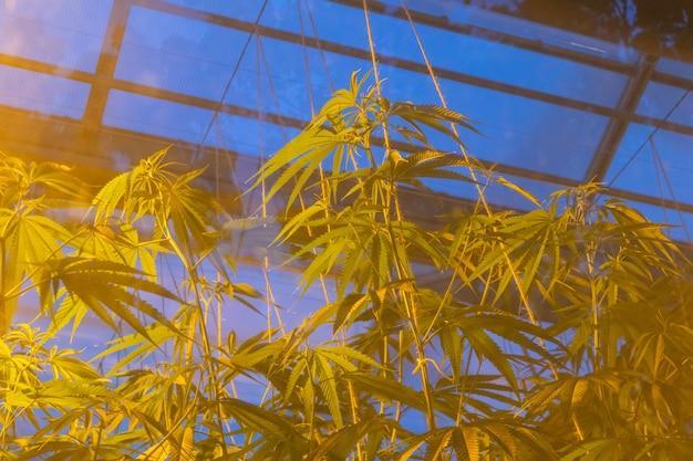 Remi la pianta di marijuana crescente della cannabis sulla serra con luce