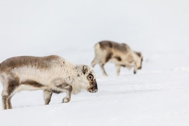 Renna delle svalbard selvatiche, rangifer tarandus platyrhynchus, due animali in cerca di cibo sotto la neve