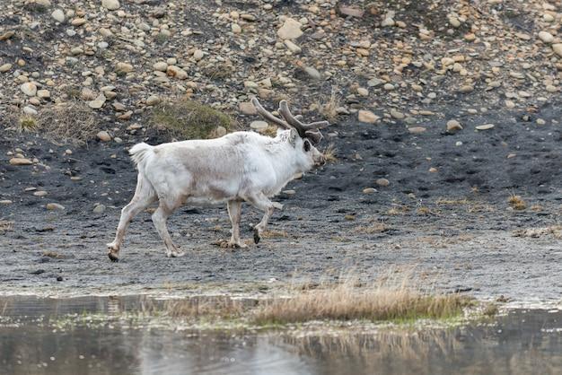 Renne selvatiche madre e cucciolo in tundra ad ora legale