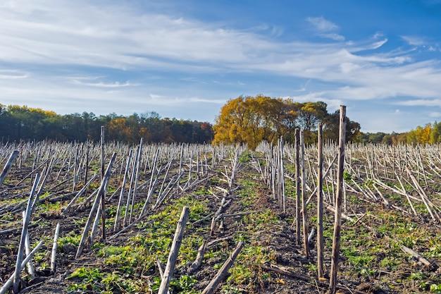 Residui di girasole dopo la raccolta prima del guadagno nel terreno e trasformazione da parte di un biodestruttore