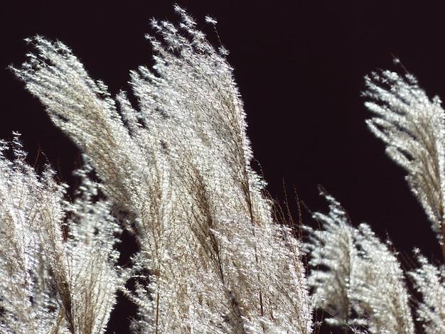 Retroilluminazione sinensis miscanto liquirizia