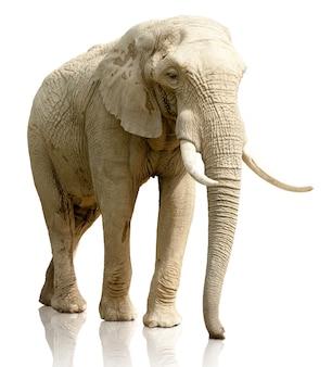 Retrovisione dell'elefante su fondo bianco