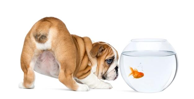 Retrovisione di un cucciolo inglese del bulldog