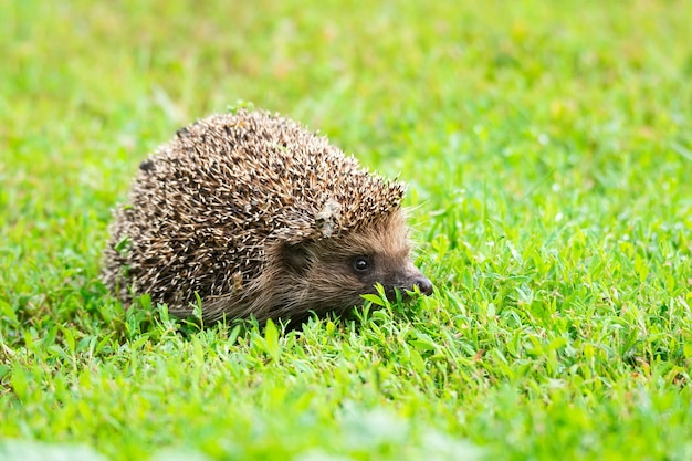 Riccio sull'erba