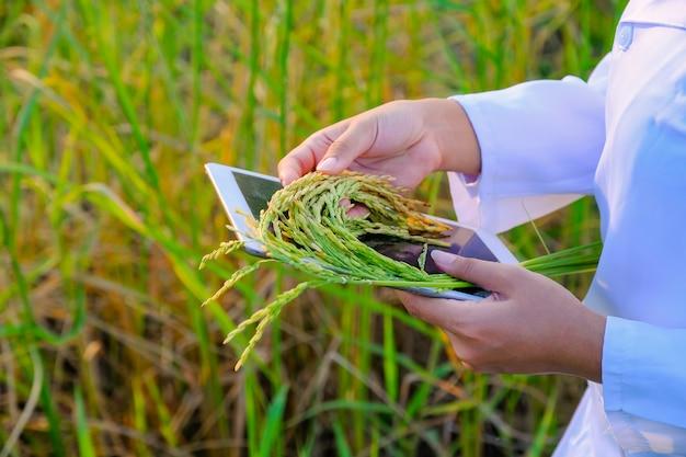 Ricercatore di donne asiatiche sta monitorando la qualità del riso nella fattoria