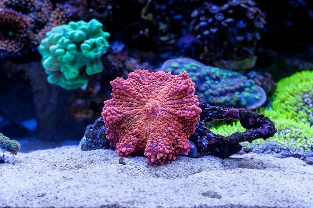 Ricordea yuma in home acquario di barriera corallina. messa a fuoco selettiva
