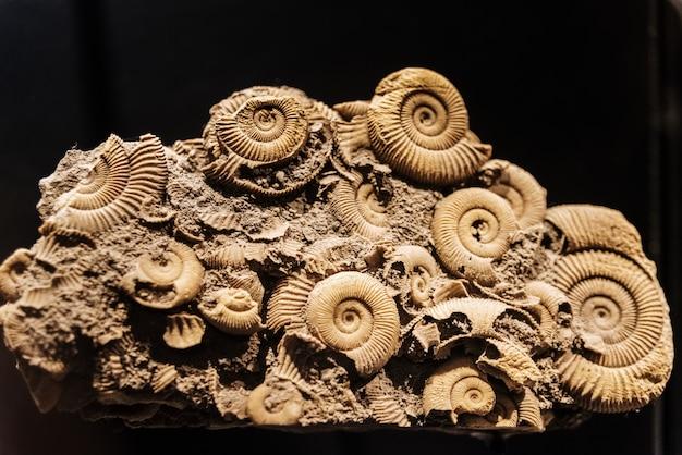 Ricostruzione di una comune di ammoniti dactylioceras