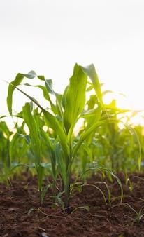 Riga del raccolto del cereale nel campo coltivato con luce solare della priorità bassa