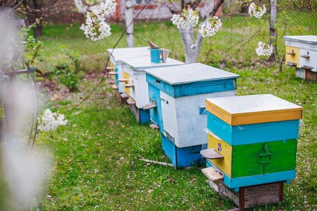 Righe di alveari sotto i rami con fiori di ciliegio. apiario in primavera in apertura. api da miele che raccolgono polline dai fiori bianchi in giardino.
